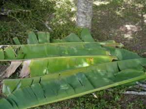 Banana leaves under tree